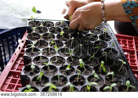 Hand Growing Vegetable Sprout Seedling Plant In Nursery Greenhouse