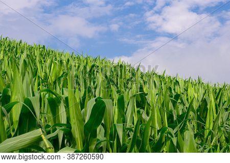 Corn In The Corn Field, Green Corn Field On Blue Sky Day Background