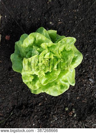 Single Rich Green Butter Lettuce Salad In The Middle Of Frame And Viewed From Above. It Is Planted I