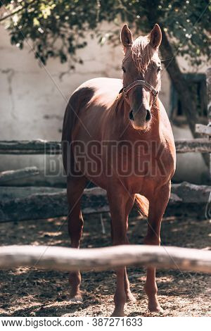 Red Thoroughbred Horse With A Light Mane. A Beautiful Thoroughbred Brown Horse Stands Behind A Woode