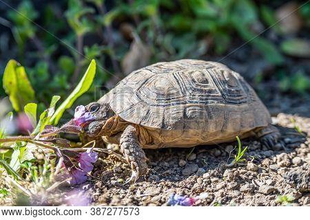 Turtle Testudo Marginata European Landturtle Eating Purple Flower Closeup Wildlife
