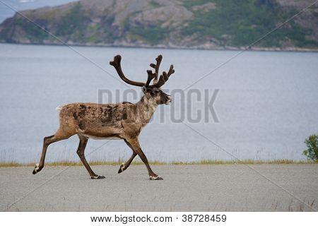 Wild reindeer running, Norway, Scandinavia