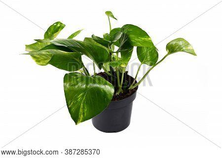 Side View Of Tropical Houseplant With Botanic Name 'epipremnum Aureum Golen Pothos' In Flower Pot Is