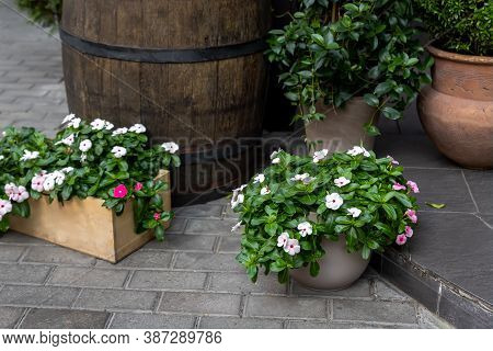Many Beautiful Different Catharanthus Roseus And White Flowers Plants In Various Pots Against Old Re
