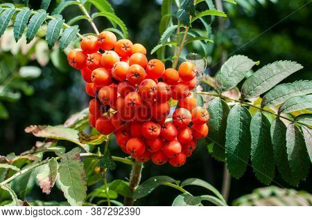 Close-up Of The Fruits Of A Mountain Ash Or Sorbus Aucuparia