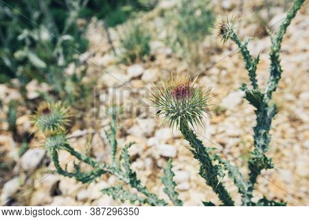 Cirsium Vulgare Flower, The Spear Thistle, Bull Thistle, Or Common Thistle, Blooming In Summer