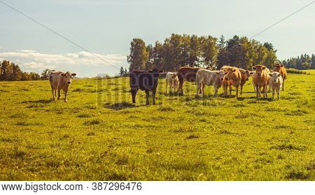 Beef Cattle - Herd Of Cows Grazing In The Pasture In Hilly Landscape, Grassy Meadow In The Foregroun