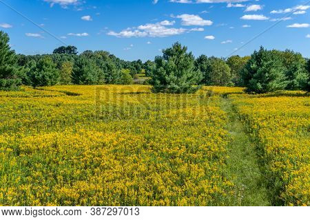 Field Of Flowering Goldenrod In The American Midwest
