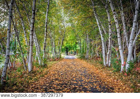 Canopy Of Birch Trees In Autumn On Path