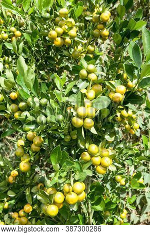 The Lemon Tree Loaded With Lemons Ready To Harvest.