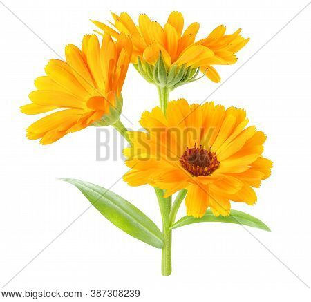 Calendula Officinalis (marigold) Plant With Flowers And Leaves Isolated On White Background