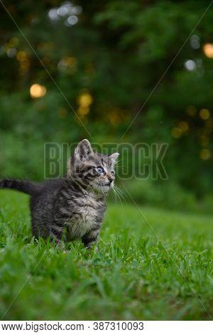 Cute Tabby Kitten In The Grass