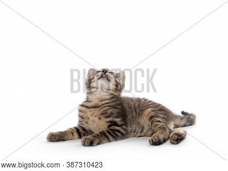 Cute Tabby Kitten Laying Down On White