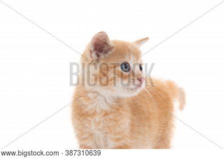 Cute Yellow Tabby Kitten Isolated On White