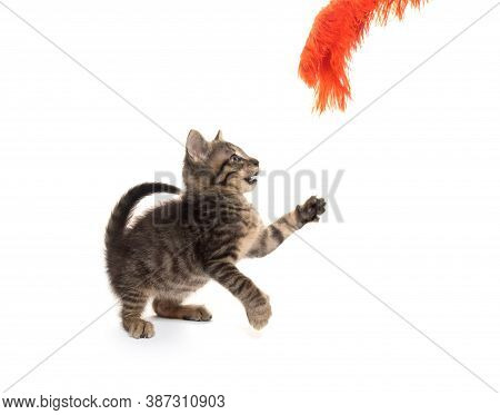 Cute Tabby Kitten Playing On White