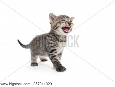 Cute Baby Tabby Kitten Isolated On White Background And Crying