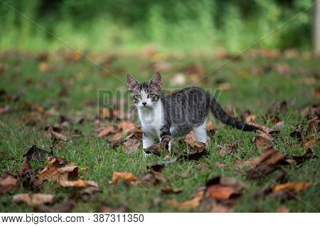 Cute Baby Tabby Kitten Outdoors In A Leaf Covered Yard With Green Grass