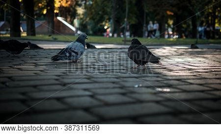 Pigeons In A Public Place,pigeons On The Sidewalk.