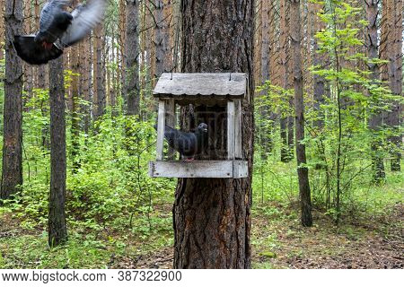 The Pigeon Is Sitting In The Feeder. The Feeder Weighs On A Pine Trunk. The Dove Flies Up To The Fee