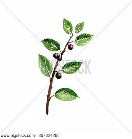 Watercolor Drawing Alder Buckthorn Branch With Leaves And Berries , Frangula Alnus , Hand Drawn Illu