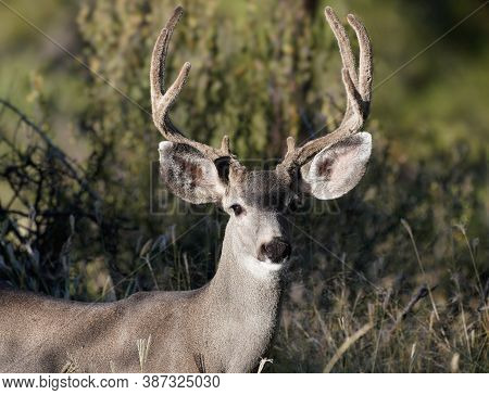 A Mule Deer Buck With A Full Rack Looks At The Camera In The Afternoon Light. The Velvet Is Still On