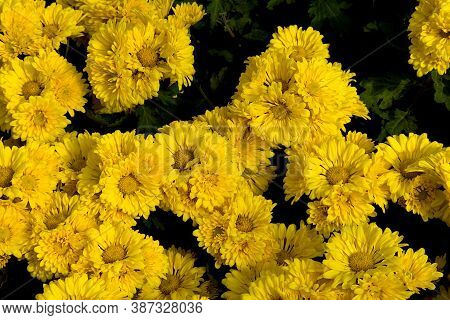 Bunch Of Yellow Chrysenthemums Flowers At Republic Day Horticultural Show In Lalbagh Botanical Garde