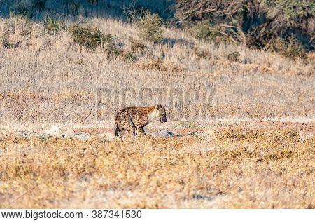 A Spotted Hyena, Crocuta Crocuta, At Mata Mata In The Kgalagadi