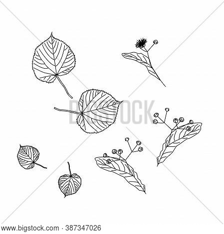 Set Of Linden Trees. Isolated Elements. Leaves, Flowers And Buds Of Linden. Vector Lime Tree, Sketch