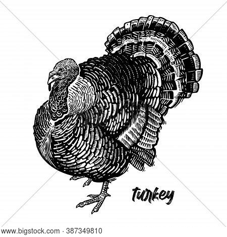 Turkey. Farm Bird. Graphics Handmade Drawing. Vintage Engraving Of Poultry. Nature Sketch. Isolated