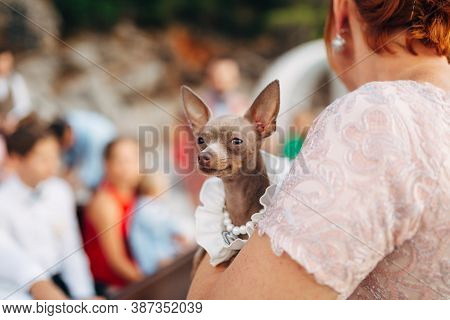 A Toy Terrier Dog In The Hands Of The Owner In A Crowded Place With A Shallow Depth Of Field.