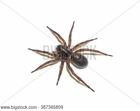 Spider Tegenaria Domestica In Front Of A White Background. House Spider. Predatory Insect. Cobweb Te