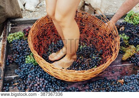 Doing Wine Ritual, Female Feet Crushing Ripe Grapes In A Bucket To Make Wine After Harvesting Grapes