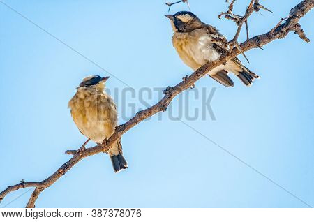 Two White-browed Sparrow-weavers, Plocepasser Mahali, On A Dead Tree Branch In The Arid Kgalagadi