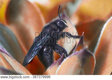 Violet Carpenter Bee, Xylocopa Violacea On The Orange  Plant