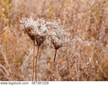 Dried Umbrellas Of Wild Carrot - Daucus Carota With Seeds. Autumn Plant In The Forest.