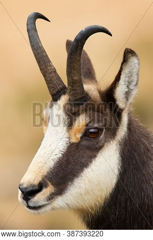 Vertical Portrait Of Tatra Chamois Looking In Mountains From Close-up.
