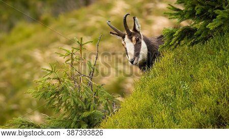 Tatra Chamois Peeking Out Of Hill In Summer Nature.