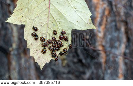 Lots And Lots Of Ladybugs. Coccinellidae On The Yellow Leaf Of The Plant.