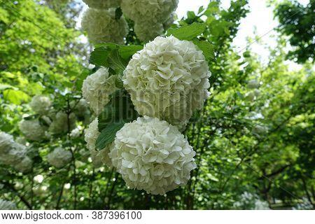 Inflorescences Of Viburnum Opulus Sterile In Mid May