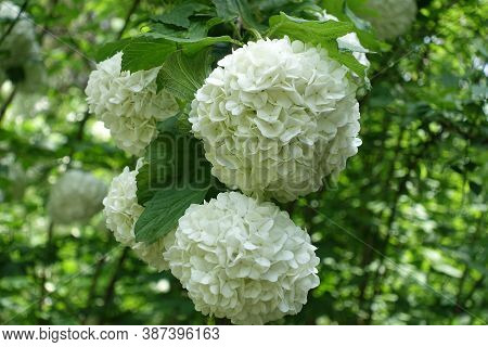 Large White Inflorescences Of Viburnum Opulus Sterile In Mid May