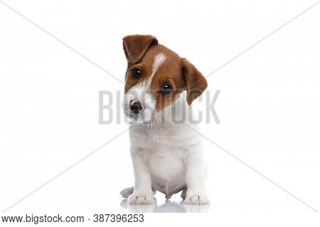 small jack russell terrier dog turning his head aside, looking at the camera, being confused of what he sees and sitting against white background