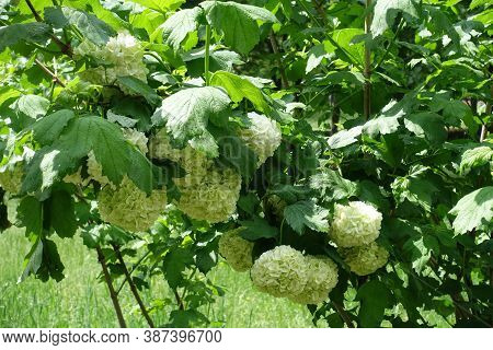 Lush Green Leaves And White Inflorescences Of Viburnum Opulus Sterile In May