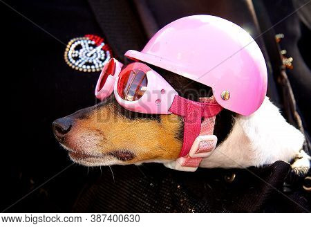 Mini Doxie With Pink Helmet And Goggles