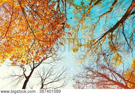 Autumn trees tops, orange autumn tree tops on the background. Autumn trees branches on the background of blue sky in sunny autumn weather, colorful autumn landscape