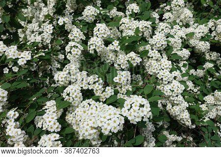 Florescence Of Germander Meadowsweet Bush In Mid May