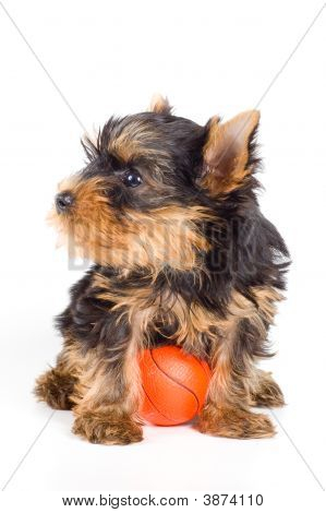 Puppy Of The Terrier