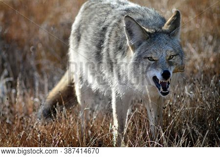 Coyote in grass field wilderness in autumn fall
