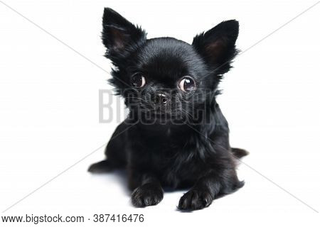 Funny Chihuahua Puppy In Studio Isolated On White Background