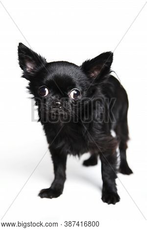 Little Black Dog Chihuahua On White Background
