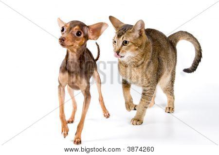 Terrier With A Cat In Studio